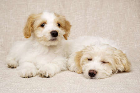 Two sleepy Bichon Frise cross puppies laid on a textured beige background