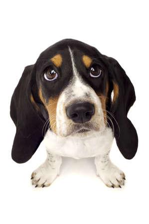 occhi grandi: Basset Hound cucciolo con grande occhi isolato su uno sfondo bianco sparato dall'alto