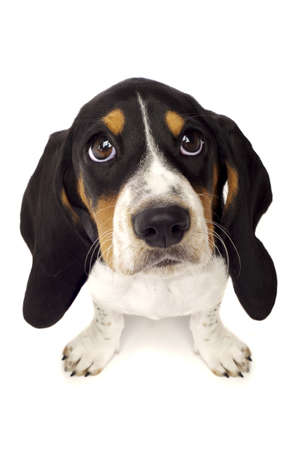 perro triste: Basset Hound Puppy Con Los Ojos Grandes Aislado en un fondo blanco dispar� desde arriba