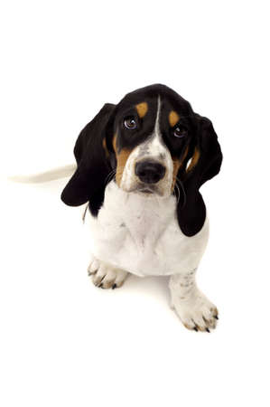 Basset Hound Puppy Isolated on a White Background Shot From Above