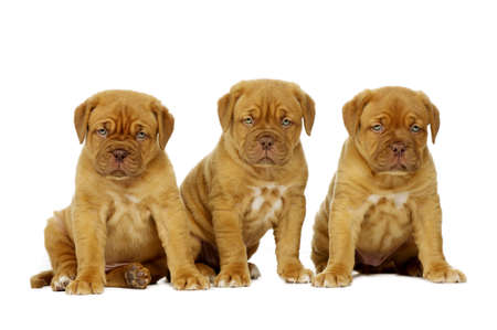 Three cute dogue de boudeux puppies next to each other isolated on a white background Stock Photo - 21057657
