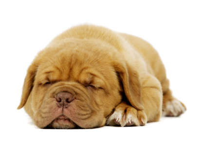 Cute dogue de boudeux puppy laid alone sleeping isolated on a white background