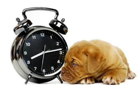Cute dogue de boudeux puppy laid next to an alarm clock isolated on a white background photo
