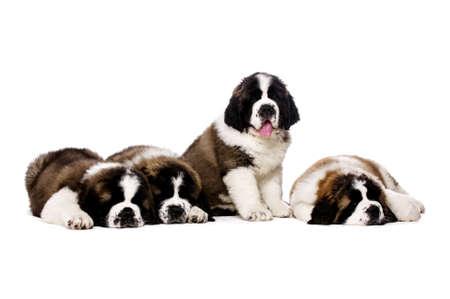 st  bernard: Cuatro cachorros de San Bernardo junto aislados en un fondo blanco Foto de archivo