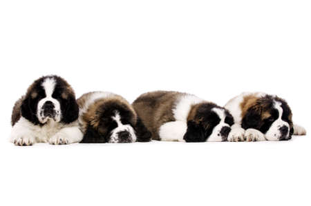 st  bernard: Four St Bernard puppies together isolated on a white background Stock Photo
