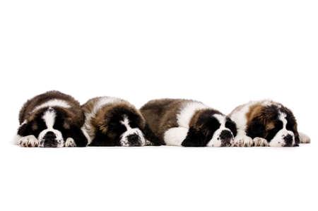 st  bernard: Cuatro dormir St Bernard cachorros juntos aislado en un fondo blanco