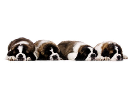 st  bernard: Four sleeping St Bernard puppies together isolated on a white background Stock Photo