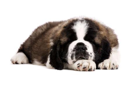 st  bernard: St Bernard perrito puso durmiendo aislado en un fondo blanco Foto de archivo