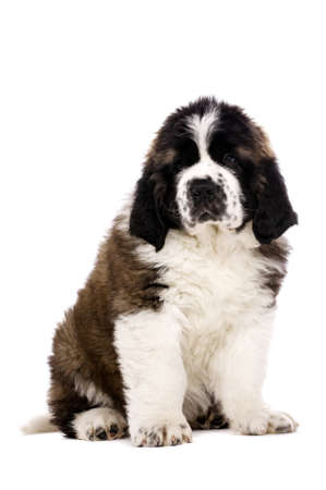 St Bernard puppy sat isolated on a white background Stock Photo
