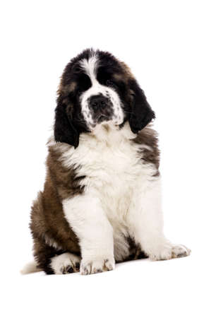 st  bernard: St Bernard puppy sat isolated on a white background Stock Photo