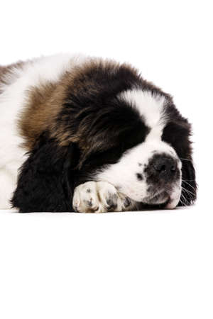 st bernard: St Bernard puppy laid sleeping isolated on a white background