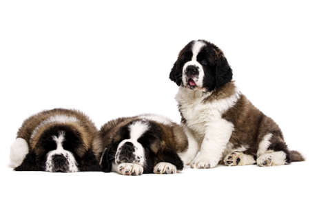 st  bernard: Three St Bernard puppies isolated on a white background together Stock Photo