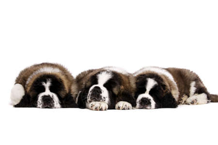 Three St Bernard puppies isolated on a white background together Standard-Bild