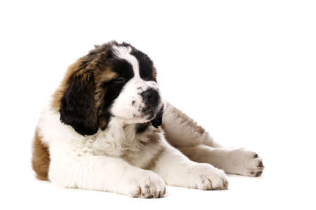 st  bernard: St Bernard puppy laid with his eyes closed isolated on a white background
