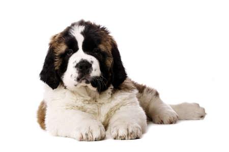 st  bernard: San Bernardo cachorro tendido al mirar a la c�mara aislada en un fondo blanco