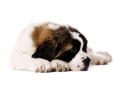 st  bernard: St Bernard perrito puso aislado en un fondo blanco