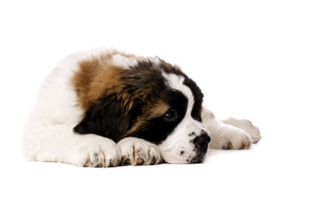 st  bernard: St Bernard puppy laid isolated on a white background