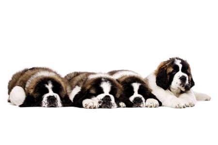 st  bernard: Cuatro so�olientos San Bernardo cachorros juntos aislado en un fondo blanco Foto de archivo