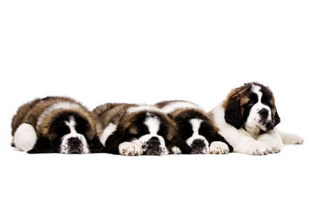 st bernard: Four sleepy St Bernard puppies together isolated on a white background Stock Photo