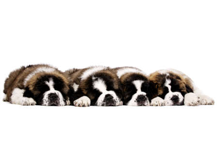Four St Bernard puppies laid sleeping together isolated on a white background photo