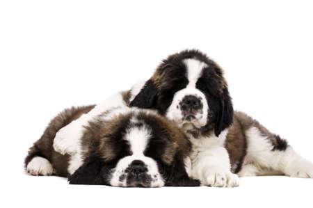 Two sleepy St Bernard puppies cuddling isolated on a white background Standard-Bild