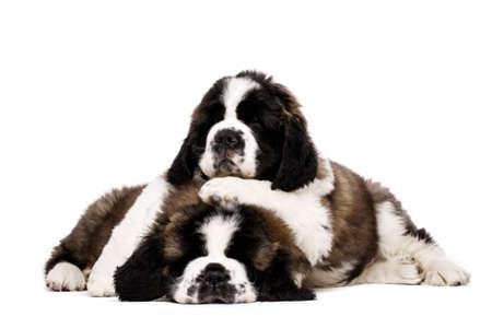 st  bernard: Dos cachorros so�olientos St Bernard cuddling aislados en un fondo blanco