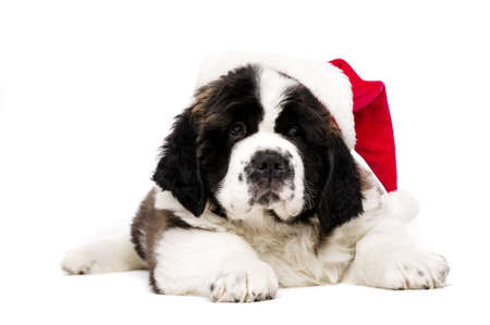 St Bernard puppy wearing a Christmas Santa hat isolated on a white background