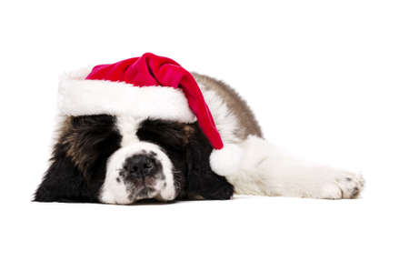 st bernard: St Bernard puppy asleep wearing a Christmas Santa hat isolated on a white background Stock Photo
