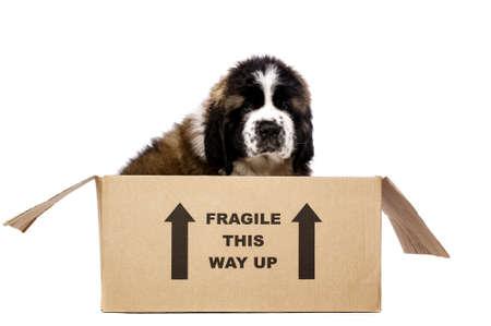 st  bernard: San Bernardo cachorro sentado en una caja de cart�n aisladas sobre un fondo blanco Foto de archivo