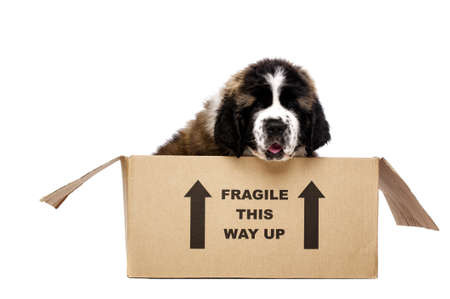 St Bernard puppy sat in a cardboard box isolated on a white background photo