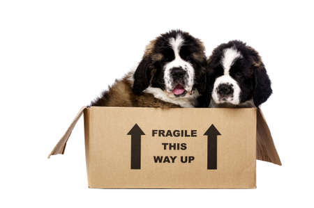 st  bernard: St Bernard puppies sat in a cardboard box isolated on a white background