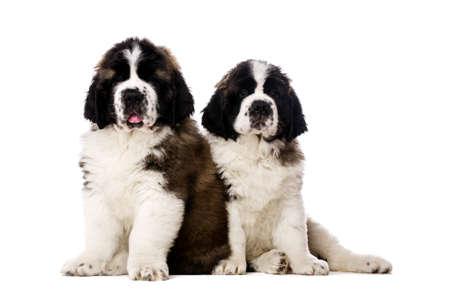 st bernard: St Bernard puppies sat isolated on a white background Stock Photo