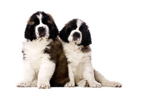 st  bernard: San Bernardo cachorros s�b aislados en un fondo blanco