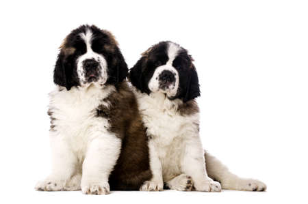 st  bernard: St Bernard puppies sat isolated on a white background Stock Photo