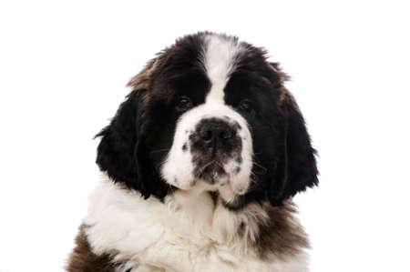 st  bernard: Cerrar un retrato de un San Bernardo perrito aislado en un fondo blanco Foto de archivo