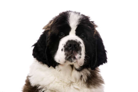 st  bernard: Close up portrait of a St Bernard Puppy isolated on a white background