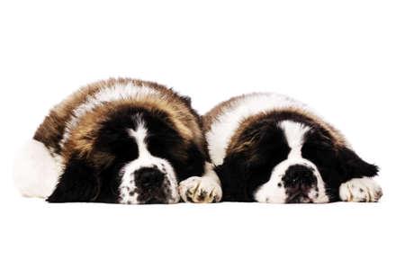 st  bernard: Dos perritos de St Bernard pusieron durmiendo aislado en un fondo blanco Foto de archivo