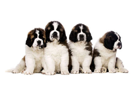 st  bernard: Four St Bernard ouppies together isolated on a white background