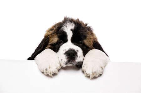 st  bernard: San Bernardo cachorro mirando por encima un cartel en blanco aislado en un fondo blanco
