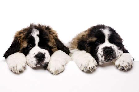 st  bernard: San Bernardo cachorros mirando por encima un cartel en blanco aislado en un fondo blanco