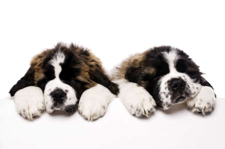 St Bernard puppies looking over a blank sign isolated on a white background photo