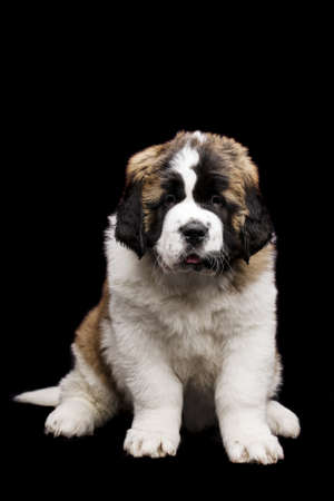 st  bernard: St Bernard puppy sat isolated on a black background