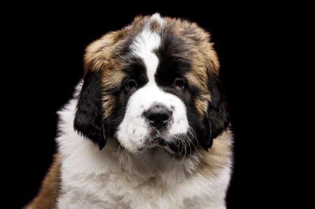 st  bernard: San Bernardo cachorro cerca retrato aislado en un fondo negro