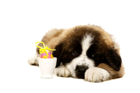 St Bernard puppy laid isolated on a white background with an easter egg