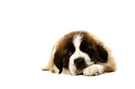 st bernard: Sleepy St Bernard puppy laid isolated on a white background