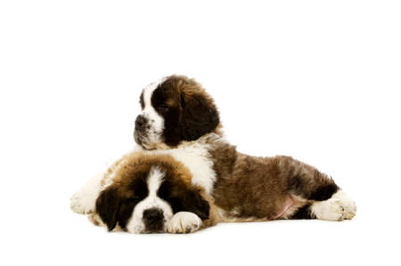 st bernard: Two sleepy St Bernard puppies together isolated on a white background