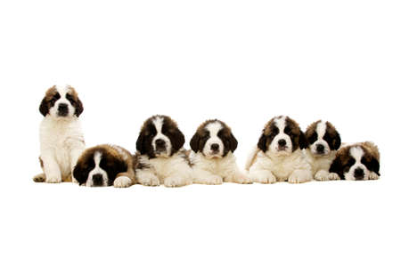 st bernard: Seven St Bernard Puppies laid in a line isolated on a white background Stock Photo