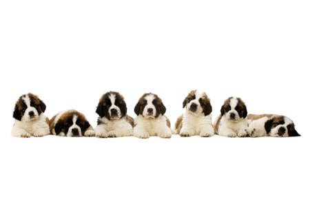 Seven St Bernard Puppies laid in a line isolated on a white background photo