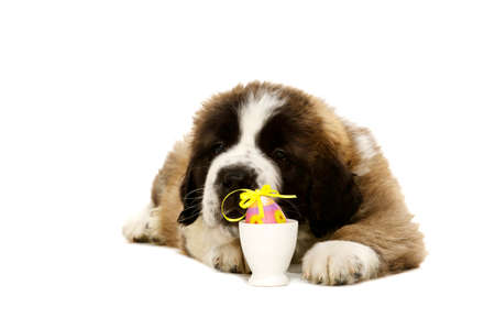 st bernard: St Bernard puppy laid isolated on a white background with an easter egg