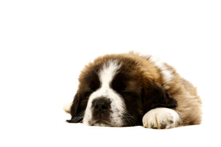 St Bernard puppy laid asleep isolated on a white background photo